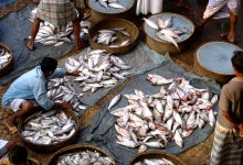 R&D can boost rice-fish farming in Bangladesh