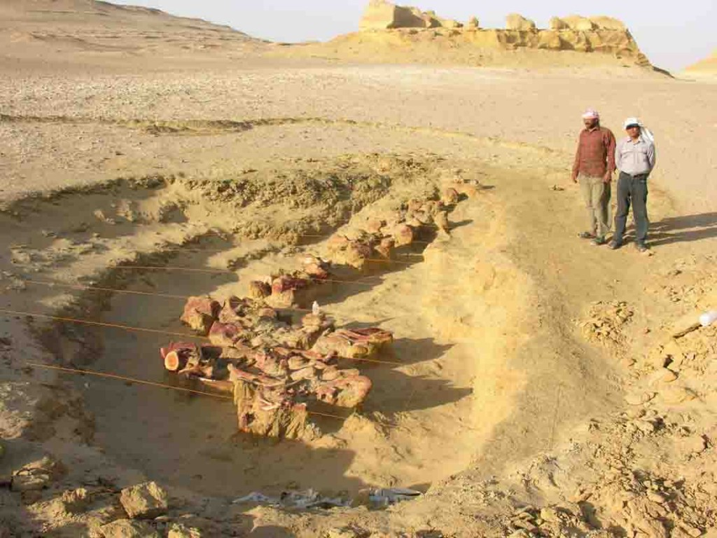 Basilosaurus isis fossil whale skeleton excavated in Wadi Hitan, Egypt (image courtesy Professor Gingerich)
