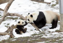 Climate change may halve giant panda's habitat by 2070