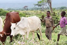 World's first genome study reveals amazing diversity among African cattle